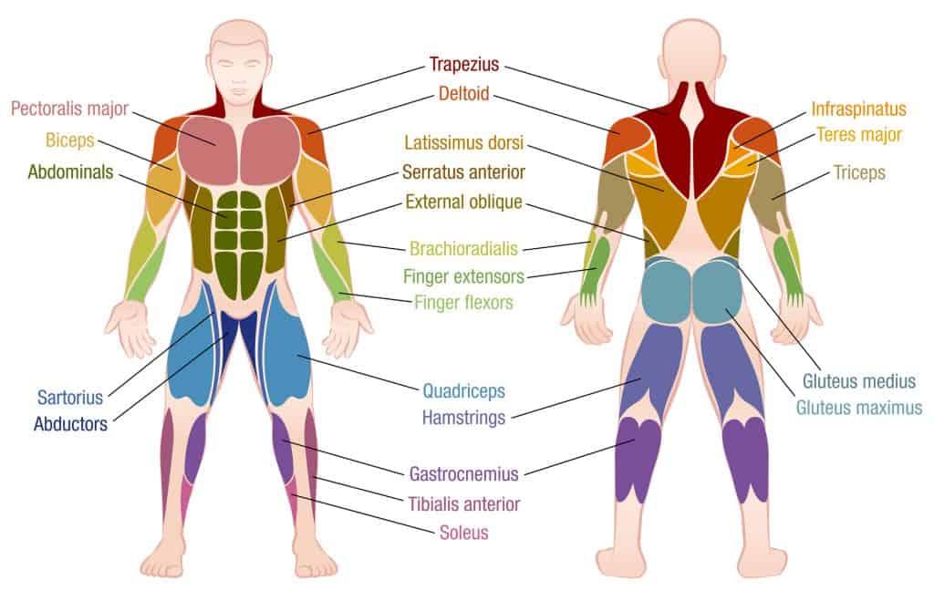 muscle-chart
