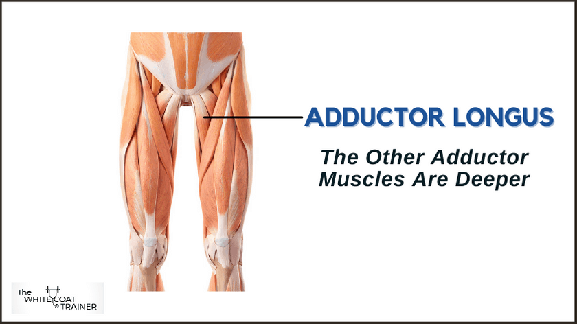 adductor-muscles